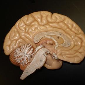 Le cerveau a-t-il un sexe?