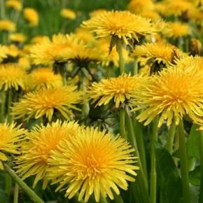 640px-Fleurs-pissenlits-en-rangs-serres