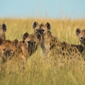 Clash of the Hyenas
